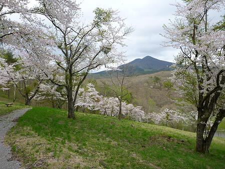 桜松公園の桜10(2012.5.13)