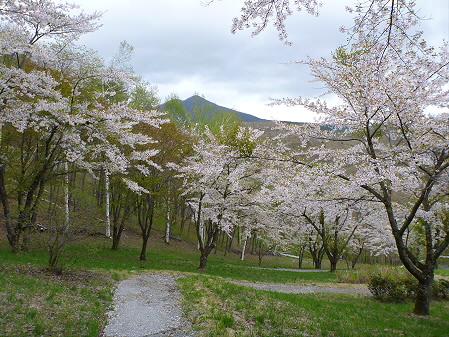 桜松公園の桜12(2012.5.13)