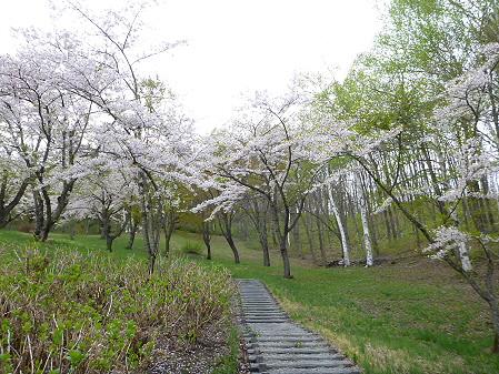桜松公園の桜14(2012.5.13)