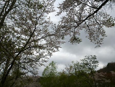 桜松公園の桜15(2012.5.13)