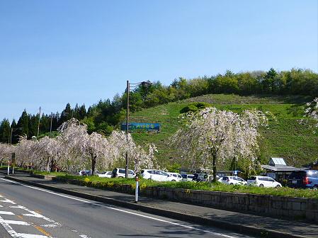 道の駅にしねのシダレザクラ01(2012.5.14)