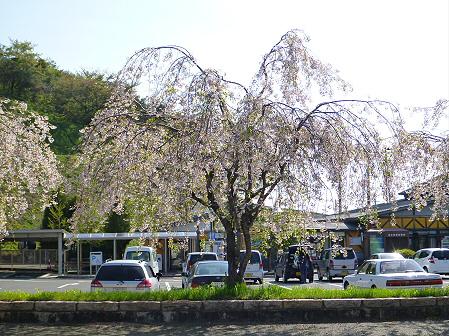 道の駅にしねのシダレザクラ02(2012.5.14)