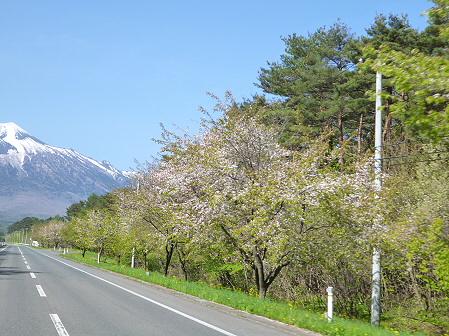 上坊牧野入口付近の桜並木02(2012.5.14)