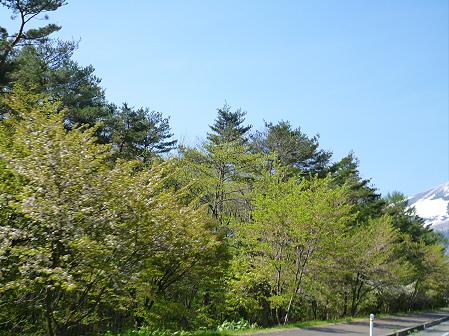 上坊牧野入口付近の桜並木03(2012.5.14)