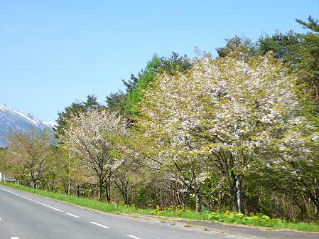 上坊牧野入口付近の桜並木04(2012.5.14)