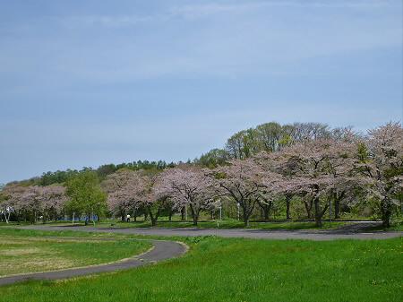 八幡平トラウトガーデンの桜並木01(2012.5.14)