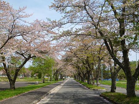 八幡平トラウトガーデンの桜並木02(2012.5.14)
