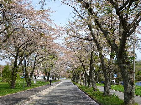 八幡平トラウトガーデンの桜並木03(2012.5.14)