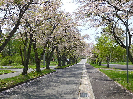 八幡平トラウトガーデンの桜並木04(2012.5.14)