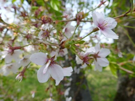 八幡平トラウトガーデンの桜並木05(2012.5.14)