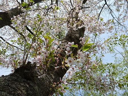 八幡平トラウトガーデンの桜並木06(2012.5.14)