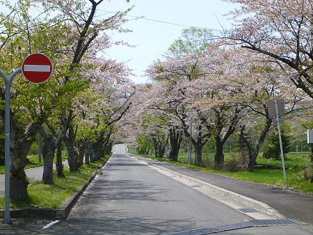八幡平トラウトガーデンの桜並木08(2012.5.14)