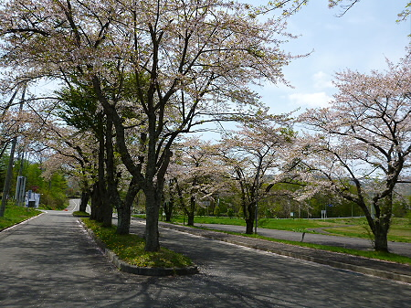 八幡平トラウトガーデンの桜並木09(2012.5.14)