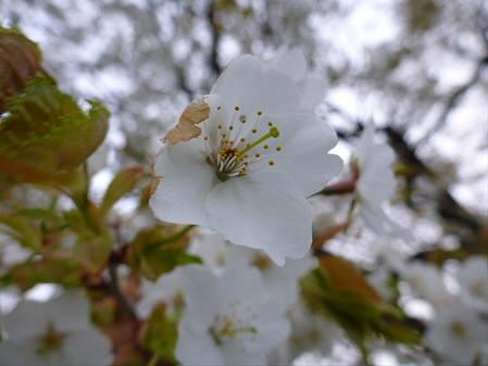上坊牧野の一本桜03(2012.5.14)