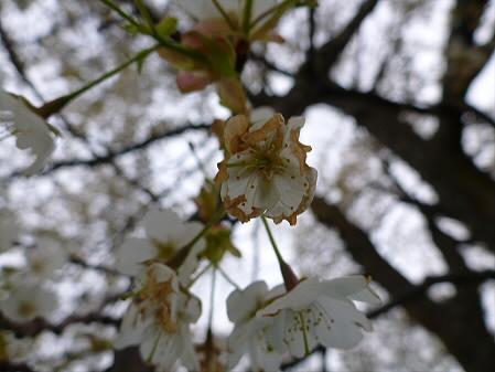 上坊牧野の一本桜04(2012.5.14)