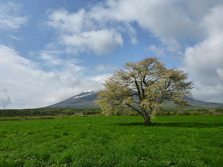 上坊牧野の一本桜01(2012.5.16)