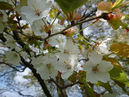 上坊牧野の一本桜02(2012.5.16)