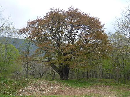 七時雨山の一本桜02(2012.5.19)