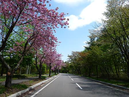 八幡平温泉郷の桜01(2012.6.4)