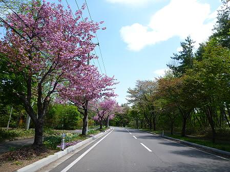 八幡平温泉郷の桜02(2012.6.4)