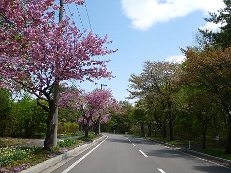 八幡平温泉郷の桜03(2012.6.4)