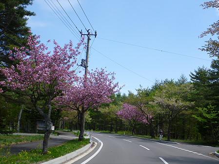 八幡平温泉郷の桜04(2012.6.4)