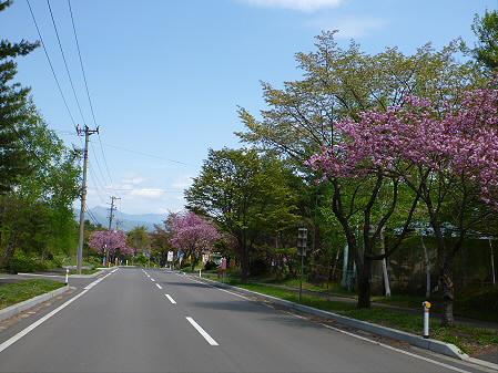 八幡平温泉郷の桜05(2012.6.4)