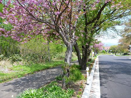 桜から生える松01(2012.6.4)