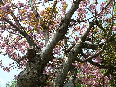 桜から生える松03(2012.6.4)