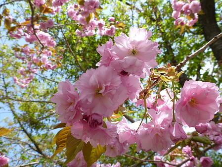桜から生える松04(2012.6.4)