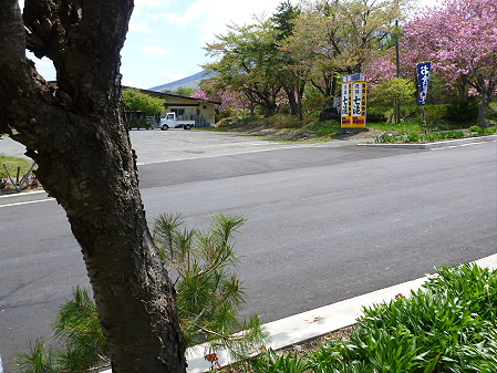 桜から生える松05(2012.6.4)