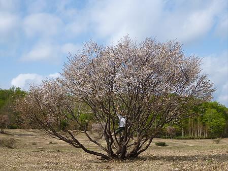 安比高原ブナ二次林01(2012.5.19)ジャンプ!