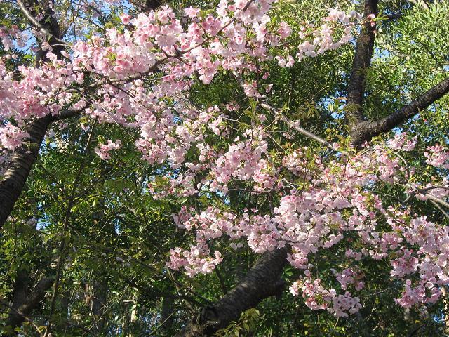 kamakura sakura
