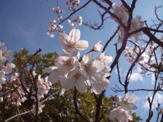 DSC_0498_桜