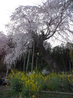 カンバラしだれ桜20120414