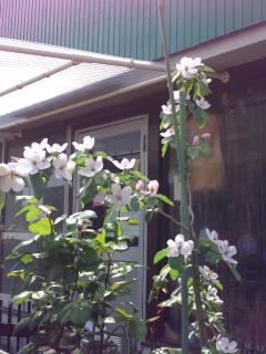 マルメロの花2012