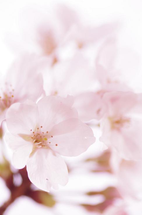 2美~淡い桜色の花びら~