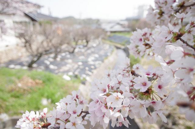 11 穏~桜越しの水路~