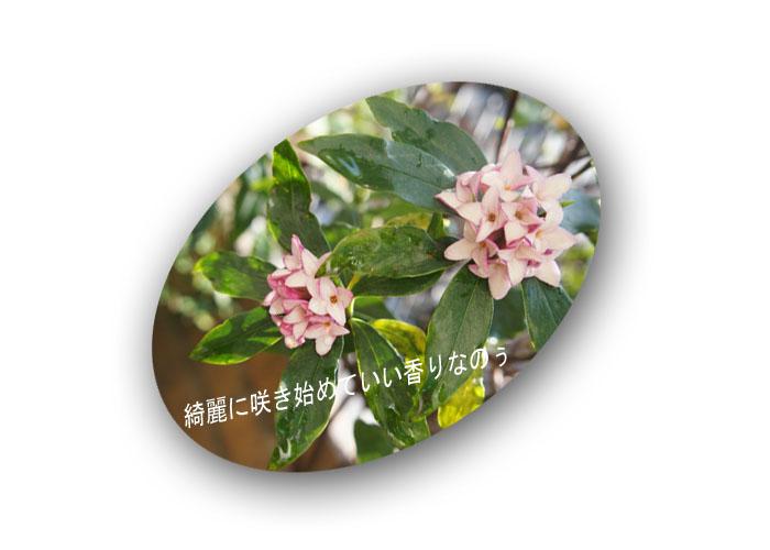 沈丁花の華