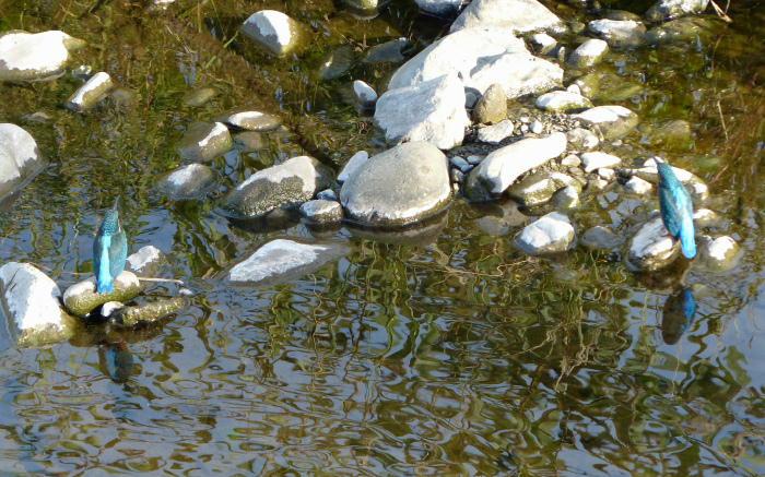 20121105-2 kawasemi-20121013-2-P1000096