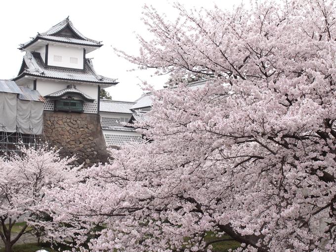桜花爛漫の金沢城