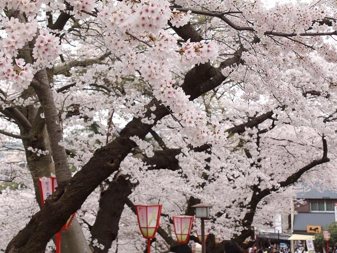 満開の桜 兼六園界隈