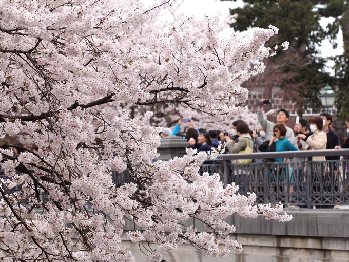 たくさんの花見客で賑わう金沢城