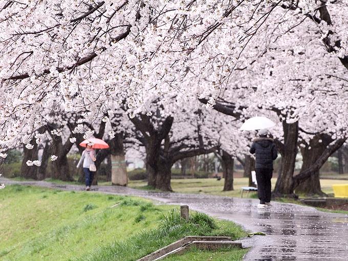花散らしの雨 犀川緑地
