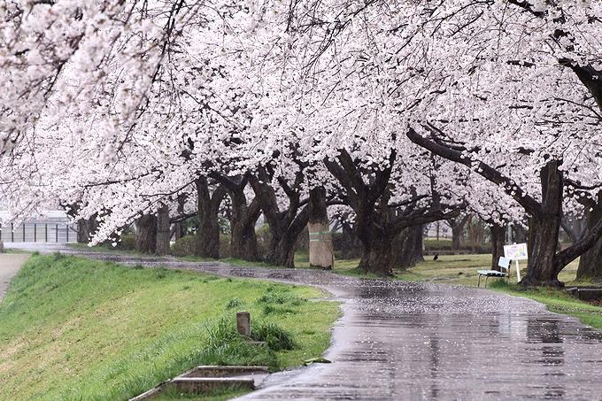 花散らしの雨 犀川河川敷