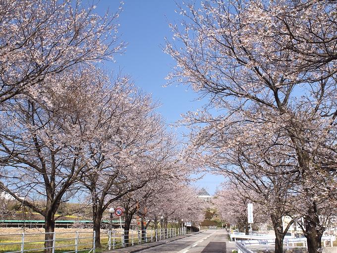北陸大学前の桜並木