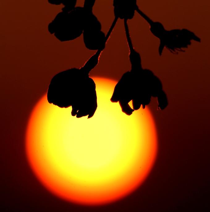 散り際の桜と夕日と