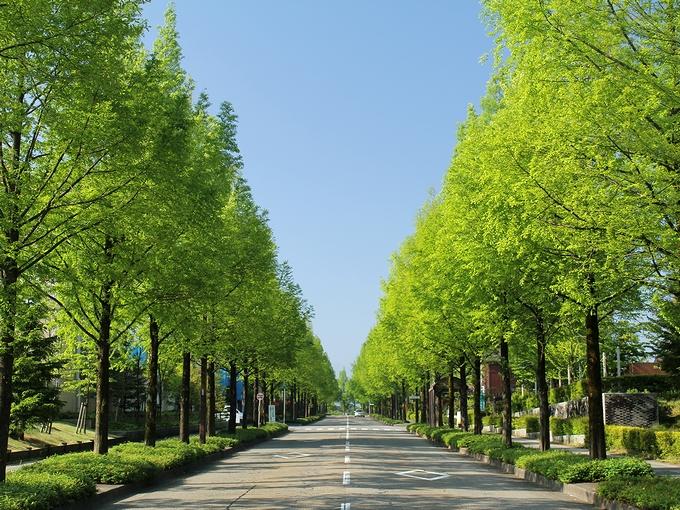 新緑のメタセコイア並木 金沢市