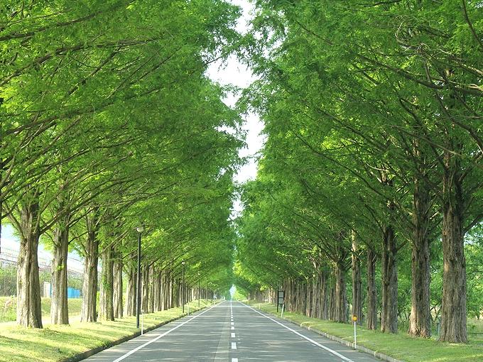 高島市マキノ高原のメタセコイア並木(初夏)