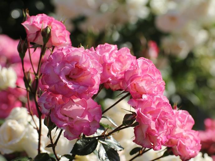 日差しを浴びたピンクのバラ(金沢市のバラ園にて)